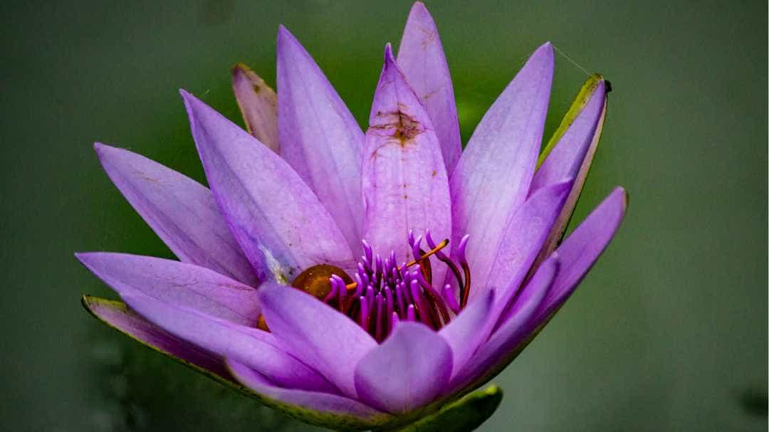 Image of a pink flower in bloom